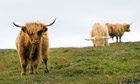 Country Diary : Highland cattle cow Scotland