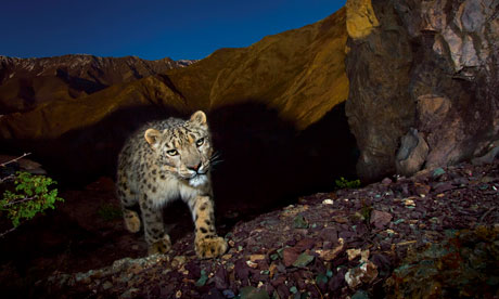 endangered snow leopard cashmere