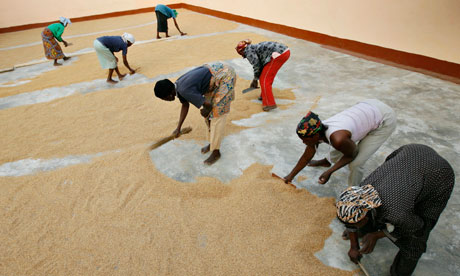 MDG : MGO in Ghana : Farmers and MG : Single Mothers Association sweep rice