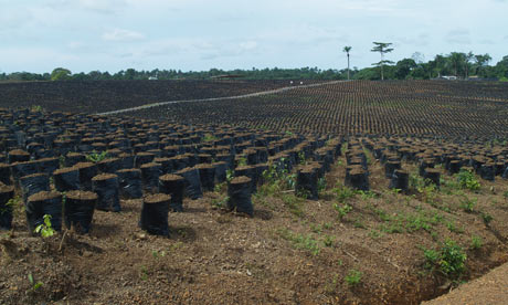 MDG : Land grab or landgrab in Sierra Leone : Socfin oil palm nursery near Sahn Malen