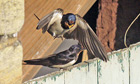 MDG : Pair of nesting swallows