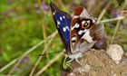 Country Diary : Purple emperor (Apatura iris)