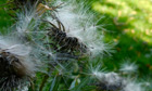 Country Diary : Thistledown from musk thistle