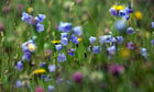 Country Diary : Harebells, Campanula rotundifolia, in hay meadow
