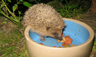 Country Diary : Hedgehog in a bowl, Ariege