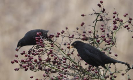 Country Diary : Blackbirds, Turdus merula eating berries, Cornwall