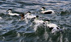 Country Diary : Drake eiders on Moray Firth