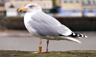 Country Diary : A herring gull Larus argentatus with BTO leg rings