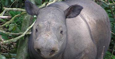 Sumatran rhino in the Bukit Barisan Selatan National Park