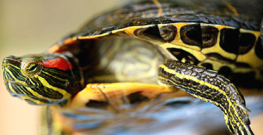 The terrapins that are terrorising Hampstead Heath | World news.