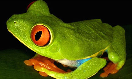 tree frog jumping. Red-eyed tree frog