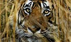 A Bengal tiger in the  Ranthambhore national park near Rajasthan, India