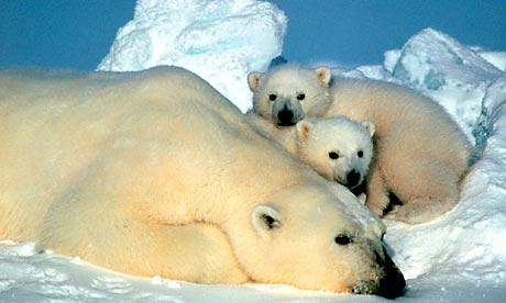 Polarbear Alaska 276 Jpg
