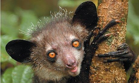 Baby aye aye lemur - photo#11