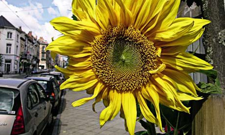 http://static.guim.co.uk/sys-images/Environment/Pix/pictures/2008/04/24/sunflower1.jpg