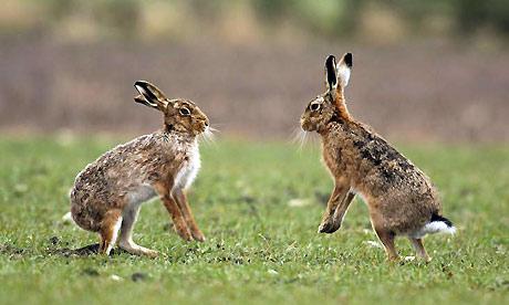 -Prey List- Hare1