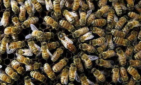 It takes just 1,000 varroa mites to kill a colony of 50,000 bees. Photograph: AP