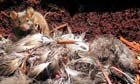 A Gough Island mouse stands over the remains of an Albatross chick