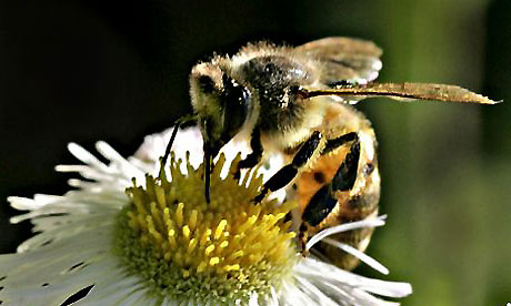 Un pesticide très utilisé nuit aux abeilles et bourdons
