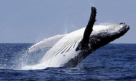 The humpback whale is off the endangered list