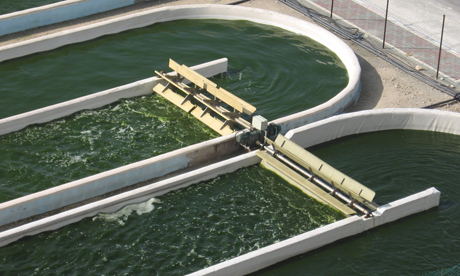Algal fuel growing in open ponds in Israel