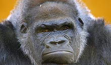 Earthwatch debate: Gorilla