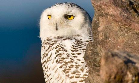 Snow owl on Alderney