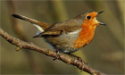 A male robin