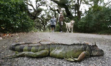 Dead iguana, Florida