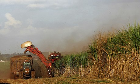 Sugar cane being cut in Brazil