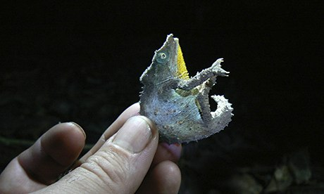 Pygmy chameleon found in Mount Mabu, Mozambique