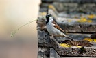 Country Diary : House sparrow, Passer domesticus