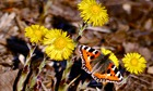 Country Diary : Small tortoiseshell butterfly on colt's-foot flowers