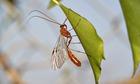 Country Diary : An Ichneumon wasp (Ophion scutellaris)