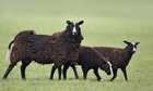 Country Diary : Zwartble Sheep (Ovis aries) sheep with lambs