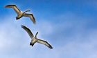 Country Diary : Whooper swans