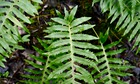Country Diary : Aberrant polypody fern on Wenlock Edge, Shropshire