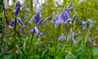 Country Diary : first bluebells in Blakeway Coppice on Wenlock Edge