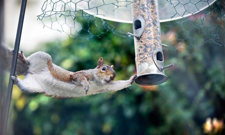 Urban grey squirrel stealing birdseed.. Image shot 2012. Exact date unknown.