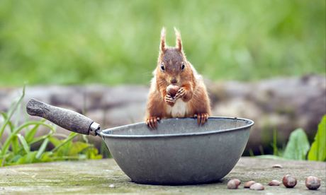 Big Garden Birdwatch: Eurasian Red Squirrel