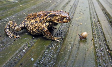 Big Garden Birdwatch: Common Toad (Bufo bufo)