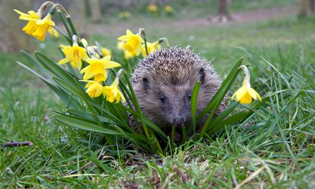 Big Garden Birdwatch : European hedgehog in garden