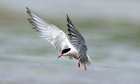 Country Diary : Common tern in flight
