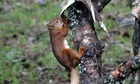 Country Diary : Red squirrel chewing a deer antler, Strathnairn, Highlands, Scotland