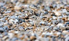 Country Diary : Little Tern (Sterna albifrons) chick