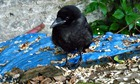 Country Diary : Young magpie in garden