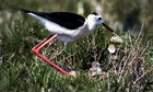 Country Diary : Black-winged stilt with a chick