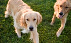 Dogs feel jealous of rival pets, study finds