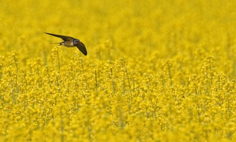 Barn Swallow  adult, in flight, hunting over flowering Oilseed Rape (