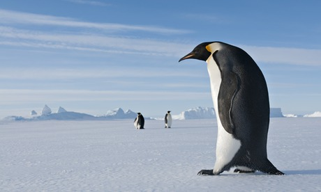 Emperor Penguin walking on ice in Prydz Bay, eastern Antarctica